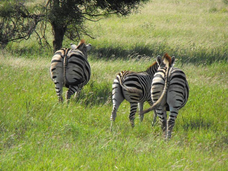 3 zebra in the wild